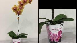 Packaging Phalaenopsis JM